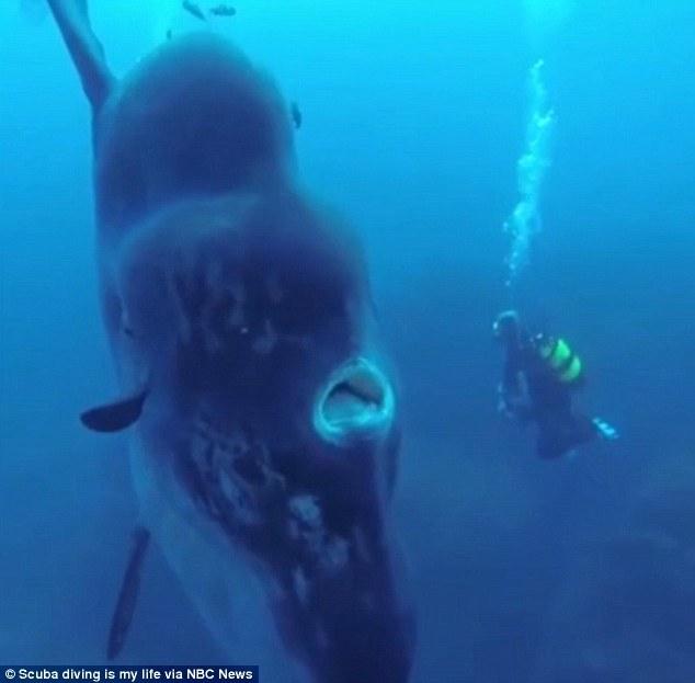 葡萄牙潜水员近离拍摄巨型翻车鱼萌态