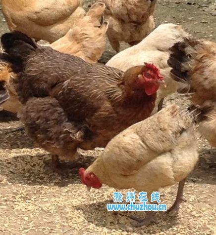 武邑农家母鸡产下灰色蛋黄鸡蛋