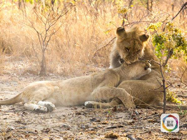 马纳普斯国家公园位于津巴布韦东北部与赞比亚交界,以最原生态的国家公园而闻名,也被联合国科教文组织认定为世界自然遗产。近年来马纳普斯国家公园也零星出现一些象牙盗猎案件,作案者多是赞比亚民众,他们在国际非法象牙贸易链条中处于最末端,为了赚养家糊口的微薄收入铤而走险。 王珂说,贫穷是当地民众参与盗猎的重要原因,因此,治本的反盗猎干预还应包括一系列针对当地居民的减贫和教育工作,这也是作为非政府组织能够发挥作用的领域。 今后我们工作的长期重点也会落脚于帮助当地人摆脱贫困上,王珂说。