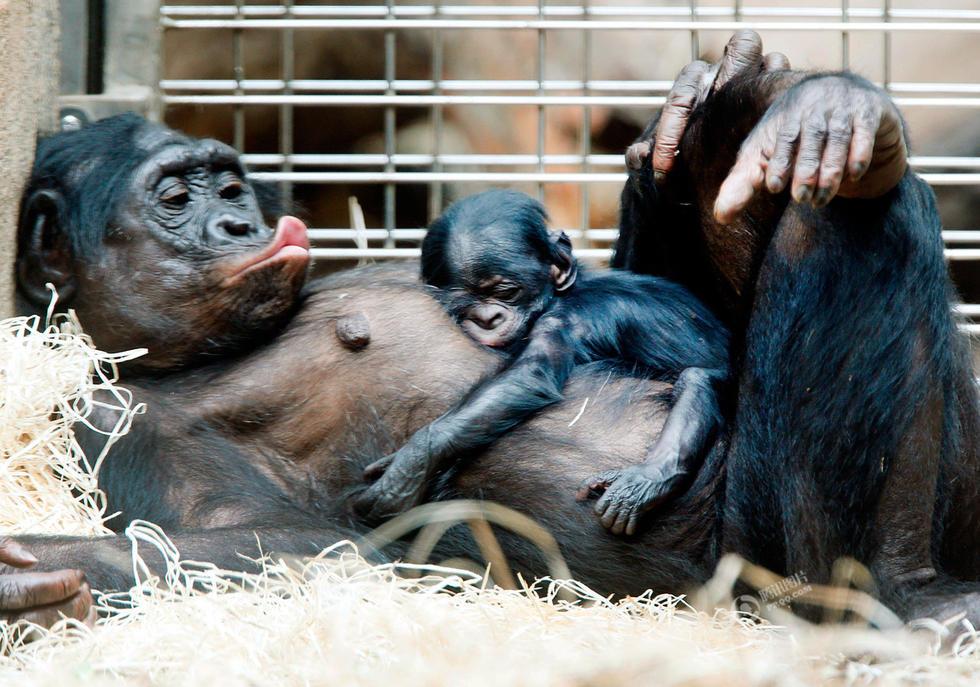 德国法兰克福动物园,一只倭黑猩猩幼崽趴在妈妈的肚子上睡觉.