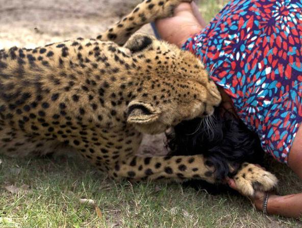 猎豹动物教宝宝画