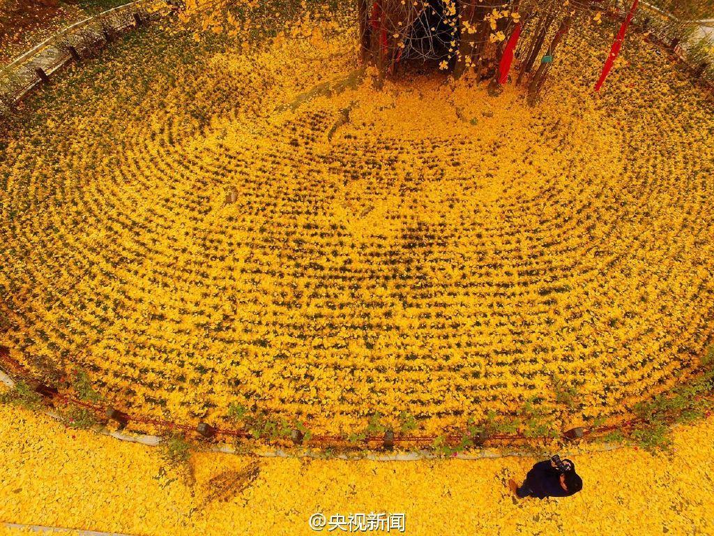 [4000年古银杏落叶]银杏树几月份落叶_贵州4000年古银杏种子落户世界